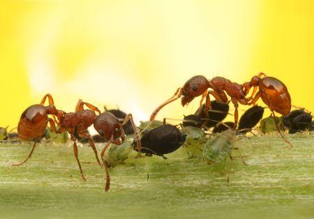hormiga: Las hormigas de la macro y pulgones