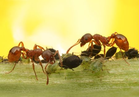 red ant: Macro ants and aphids