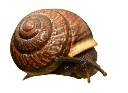 Snail isolated on white Stock Photo - 6899029