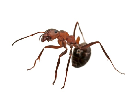 ant isolated on white.Formica rufa photo