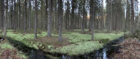 Panorama of the wild forest, a green moss, silence, bog, water reflections 스톡 콘텐츠