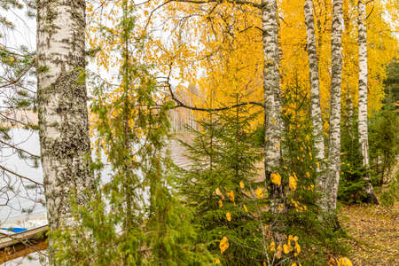 The Birches and fir-trees at the coast area of lake Boroye in Autumn, Russia, Piers on the lake, Valday national park, Multi-colored foliage, golden trees, Wooden lodges, cloudy weather Foto de archivo