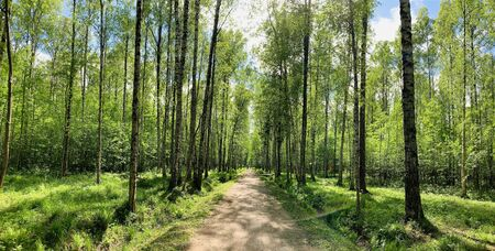 Panoramic image of the straight path in the forest among birch trunks in sunny weather, sun rays break through the foliage, nobody Archivio Fotografico