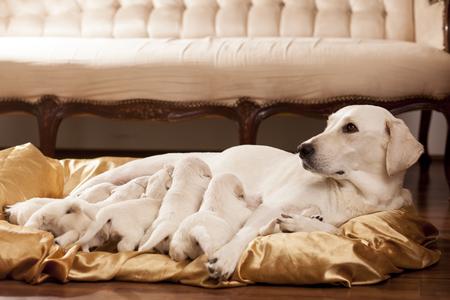 puta: madre blanca de labrador retriever con sus cachorros