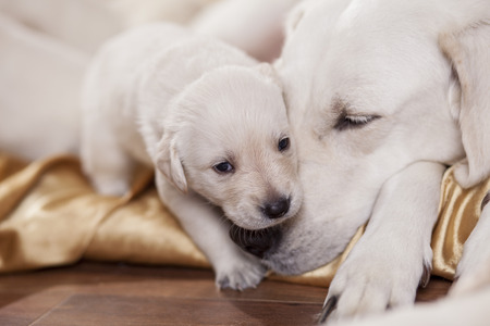 golden retriever puppy: white labrador retriever mother with her puppy Stock Photo