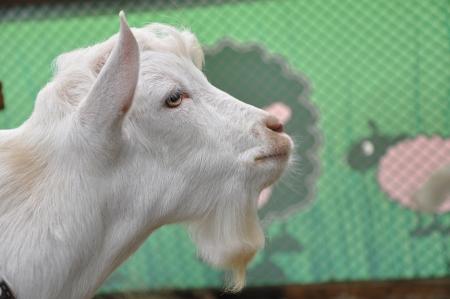 Little goat photo