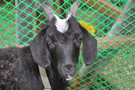 caprine: Little goat
