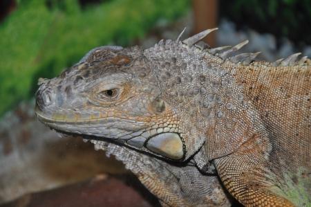 lizard family iguanovyh photo