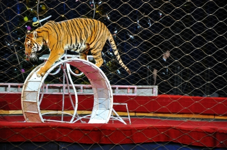 show ring: Tiger in the circus arena
