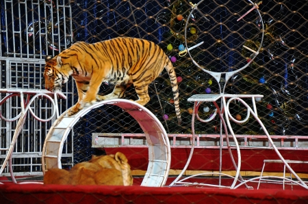Tiger in the circus arena