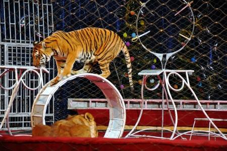 animales de circo: Tigre en la arena del circo Foto de archivo