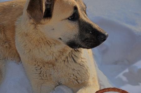 pooch: Ordinary pooch in the snow