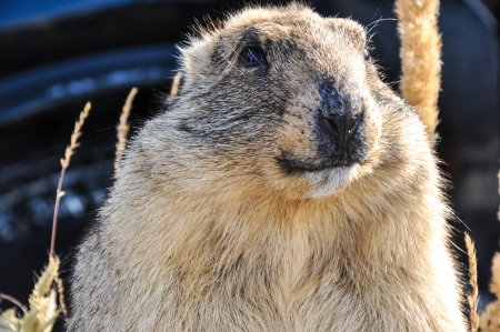 Marmot - mammal, representative of rodents photo
