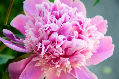 Peony is one of the most luxurious flower plants photo
