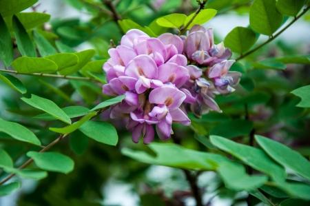 Rose Acacia Robinia or acinar Sims photo