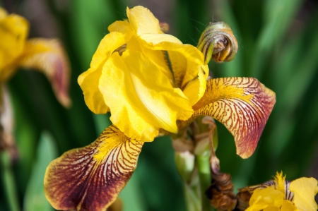 Iris flowers are perfect for landscape design