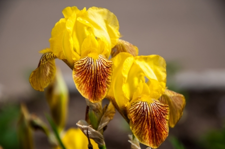 Iris flowers are perfect for landscape design photo