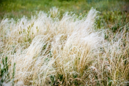 beautiful rare: Rare species BEAUTIFUL FEATHER GRASS. Listed in the Red data book of the Russian Federation. Stock Photo