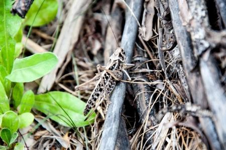 szarańcza: Locust Invasion Zdjęcie Seryjne