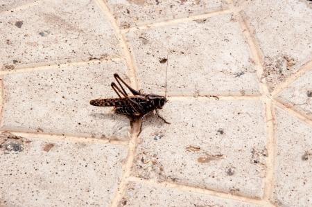 invasion: Criquet Invasion