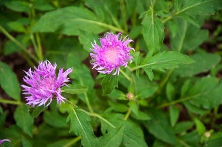 garden cornflowers: Garden cornflower