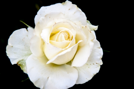 white rose bush photo
