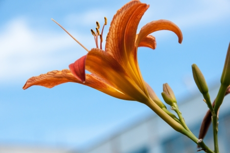 Lily is a genus of plants in the family Liliaceae