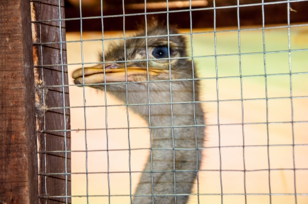 aviary: Ostrich in Aviary Stock Photo