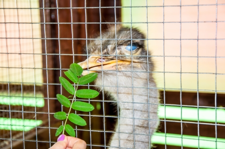 aviary: Ostrich in Aviary Stock Photo
