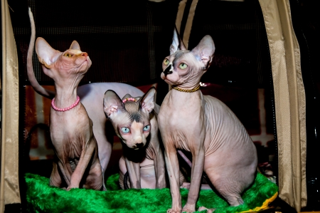 A cat of breed the Canadian Sphynx photo