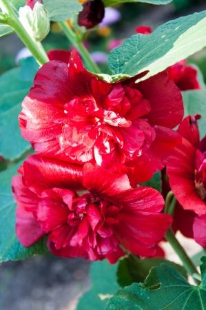 malvaceae: Malva flower family Malvaceae