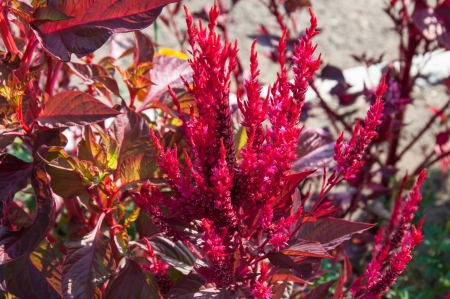 century plant: Amaranth has anticancer properties plant, it is called a miracle plant 21 century
