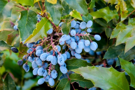 Mahonia aquifolium evergreen shrubs, the genus Mahonia