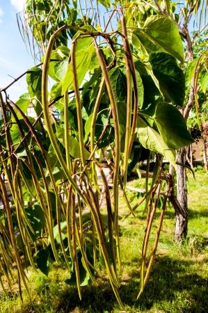 catalpa: Catalpa genus of plants in the family bignoniaceae Stock Photo