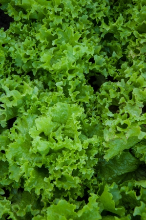 compositae: lettuce is an plant family Compositae