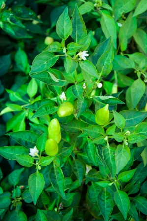 solanaceae: Pepper Bitter plant family Solanaceae