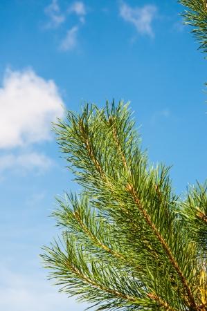 pinaceae: Pinus genus of conifers Pinaceae family Stock Photo