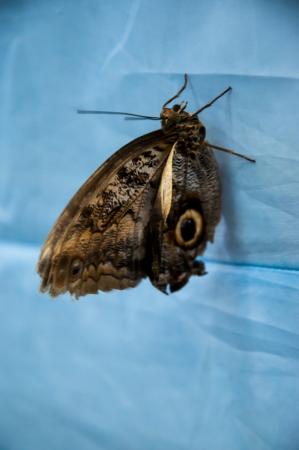 eyespot: Caligo Memnon Twilight Butterfly family Brassolidy