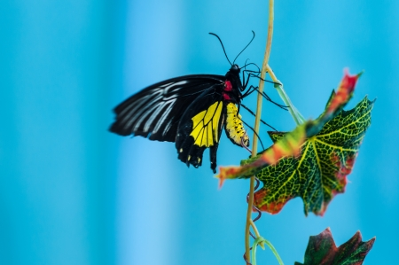 Troides Rhadamantus or Butterfly financial prosperity photo