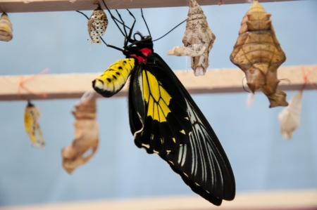 Transformation of the chrysalis to Butterfly Troides Rhadamantus or Butterfly financial prosperity