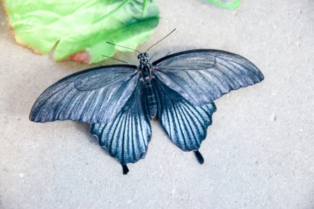 The male Butterfly Papilio Lowi