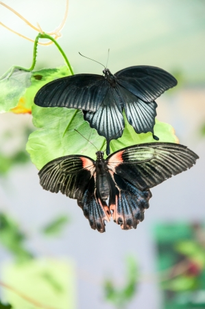 papilio: The male Butterfly Papilio Lowi