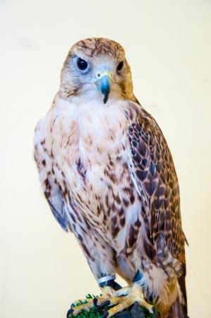 falconidae: Falcon Baloban view birds of predatory Falconidae family Stock Photo