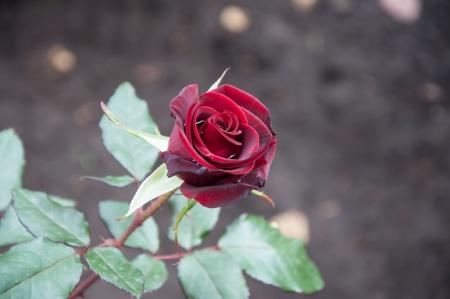 Autumn rose after rain photo