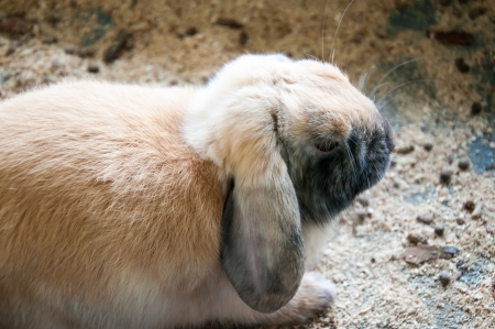 sateen: Dwarfish Rabbit Rex Sateen, city of Orenburg, Southern Ural, Russia