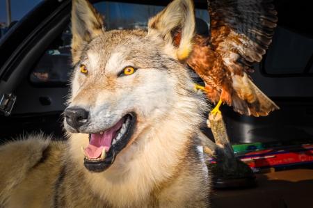 Stuffed Wolf, city of Orenburg, Southern Ural, Russia Stock Photo