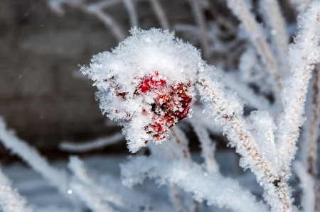 guelder: In winter Guelder Rose and soft fluffy snow Stock Photo