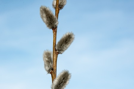 Willow sprigs to bloom for Easter for the feast of the radiant resurrection of Christ photo