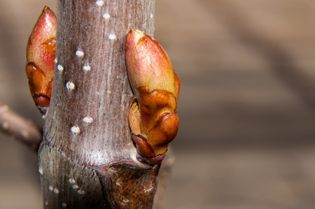 gaining: In the spring of chestnut is gaining strength and is ready to release the first leaves