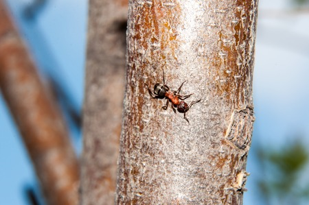 hymenoptera: Ants are a family of insects of the superfamily of Hymenoptera Ant